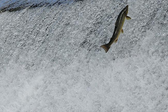 Un salmón asciende por el río Sella, en Asturias (foto: Xuan Cueto / Shutterstock).