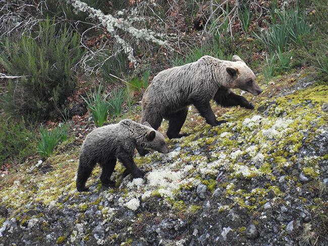 Un estudio genético confirma la recuperación del oso en el oriente cantábrico