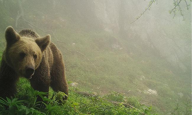 La mortalidad no natural del oso pardo, a examen