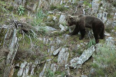 Un oso recorre una escarpada ladera en la cordillera cantábrica (foto: Héctor Ruiz).