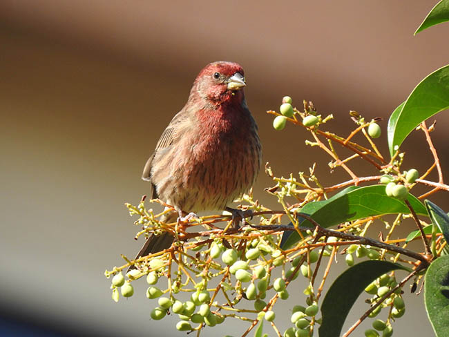 El camachuelo mejicano: una nueva especie exótica y reproductora