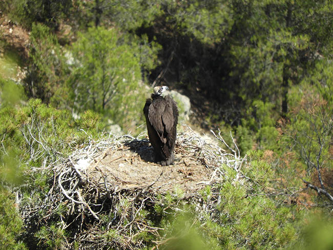 Pollo de buitre negro nacido en Lorca (Murcia) en su nido, con dos meses y medio de edad (foto: Mario León Ortega).