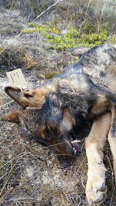 Lobo abatido y precintado en Castilla y León (foto: Ascel).
