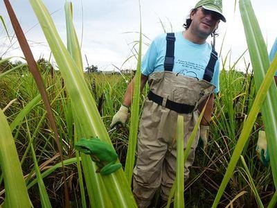 Un naturalista participa en un muestreo de ranita meridional en la charca de Suárez, en la costa de la provincia de Granada. En primer plano, un ejemplar de la especie (foto: Fernando Alcalde).
