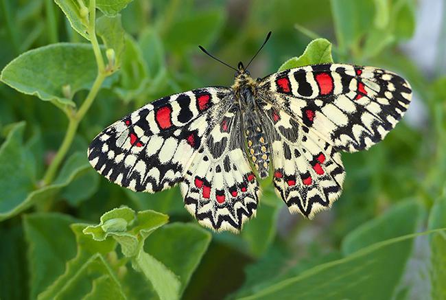La arlequín, Mariposa del Año