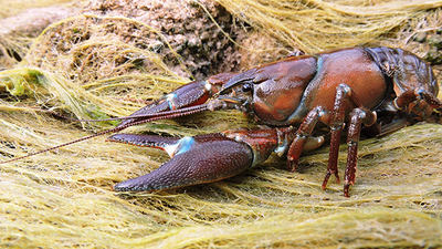 Cangrejo señal, especie invasora en los hábitats españoles de agua dulce (foto: J. M. Zamora-Marín).