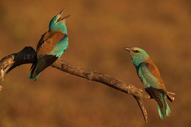 Pareja de carracas posadas en una rama seca. La presencia del jején Culicoides paolae era frecuente en las cajas nido ocupadas por el ave y sometidas a estudio (foto: Manuel Calderón).