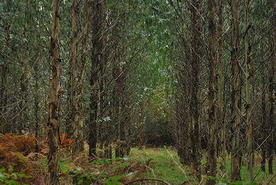 Plantación de eucaliptos en la comarca de A Ulloa (Lugo). Foto: Sandra Goded.