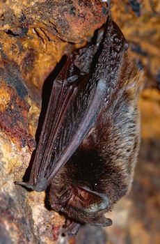 Ejemplar de barbastela (Barbastella barbastellus). Foto: Michal Pesata / Shutterstock).