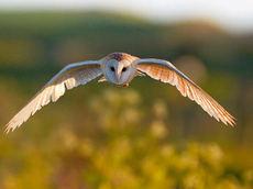 Lechuza común en vuelo (foto: Mark Medcalf / Shutterstock).