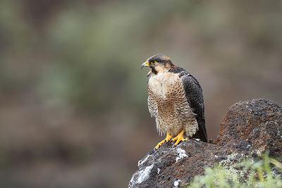 Hembra reproductora de halcón de Berbería de la isla de Tenerife, mostrando una coloración típica (foto: Beneharo Rodríguez).