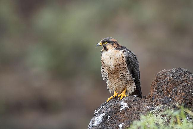 Halcón de Berbería: amenazado por escapes de aves de cetrería y expolios de sus nidos