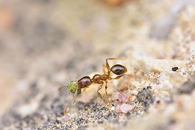Un ejemplar de Pheidole pallidula transporta a un pulgón entre sus mandíbulas. Son un buen ejemplo de relación mutualista: las hormigas protegen a los pulgones, que a su vez les proporcionan unas exudaciones ricas en glúcidos (foto: Daniel Sánchez García).