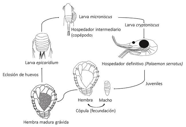 ¿Qué son esos raros flemones de las gambas? Isópodos bopiroideos