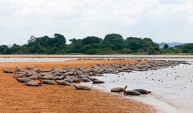 Gran cantidad de hembras de tortugas gigantes del Amazonas desovan en la playa fluvial de una reserva en el río Xingú, en el estado brasileño de Pará (foto: Tarcisio Schnaider / Shutterstock).