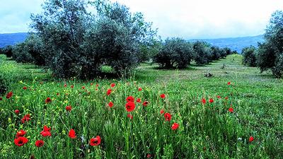 Olivar extensivo en Andalucía (manteniendo la cubierta herbácea). Foto: Emilio Morcillo.