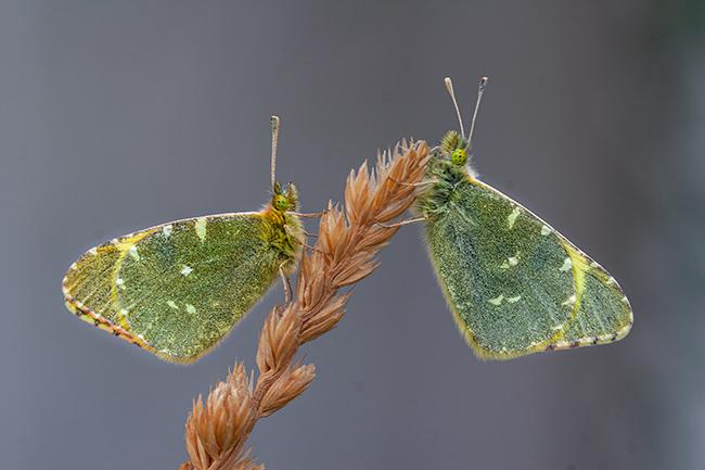 Euchloe bazae, la mariposa perdida del altiplano granadino