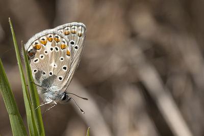 El ícaro moro (Polyommatus celina) es una especie común que ha servido para evaluar el declive de las mariposas vinculadas a los ecosistemas de pradera (foto: J.M. Barea-Azcón).