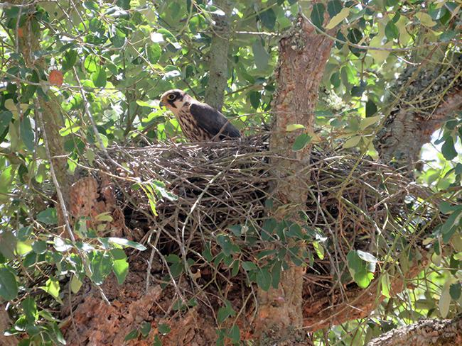 Un alcotán ocupa un nido de cuervo en un alcornoque del bosque de Mamora (Marruecos). Foto: Karim Rousselon.