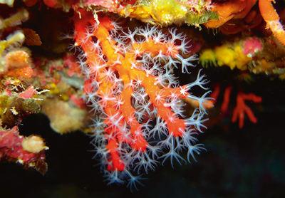 Coral rojo del Mediterráneo (foto: Paolo Ponga / Shutterstock).