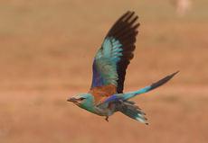 Carraca en vuelo perteneciente a la población extremeña de la especie (foto: Manuel Calderón).