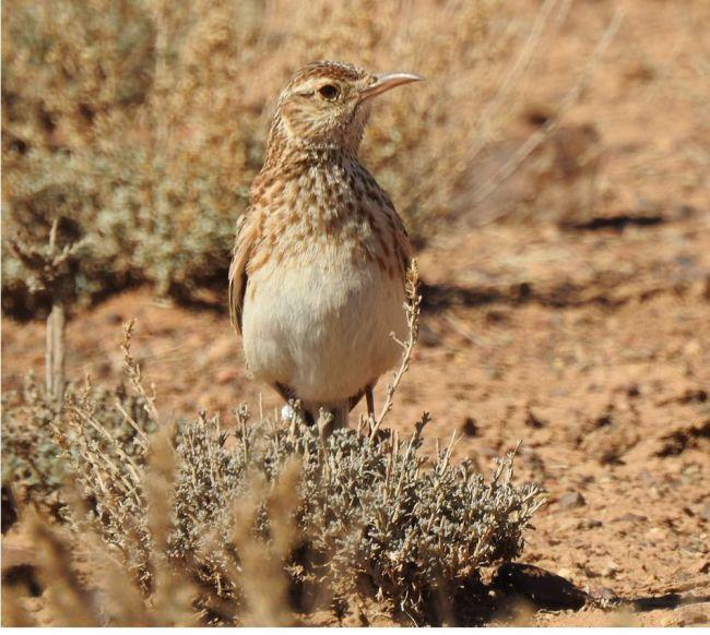 Alondra ricotí en su hábitat estepárico natural (foto: Adrián Barrero / TEG-UAM).