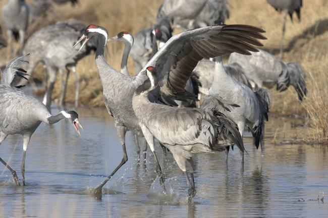 Grullas en la laguna aragonesa de Gallocanta, espacio natural catalogado como IBA (foto: Tatavasco Imágenes).