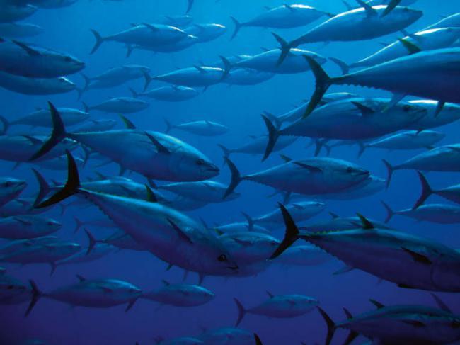 Grupo de atunes rojos en el Mediterráneo (foto: Guido Montaldo / Shutterstock).