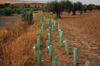 Seto de especies autóctonas plantado en un olivar para controlar la erosión (foto: Guillem Crespo / Fundación FIRE).