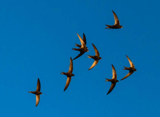 Bando de vencejos en vuelo (foto: Sokolov Alexey / Shutterstock).
