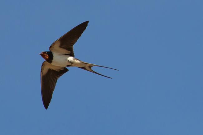 Golondrina común, una de las incluidas en la campaña Las tres mosquiteras (foto: TheOtherKev / Pixabay).