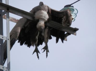 La electrocución de aves desde la perspectiva del derecho ambiental