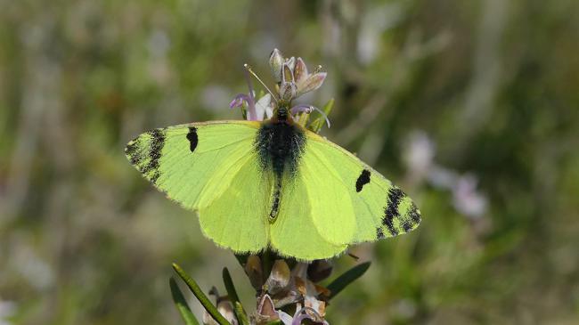 Ejemplar de azufrada ibérica, en cuyas alas se aprecia la intensa coloración que motiva su nombre común (foto: Yeray Monasterio / Zerynthia).