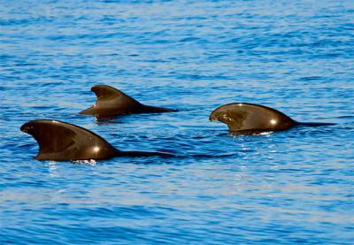 Aletas dorsales de un grupo de calderones tropicales, especie emblemática de las aguas que rodean al proyectado puerto de Fonsalía (foto: gdimages / 123RF).