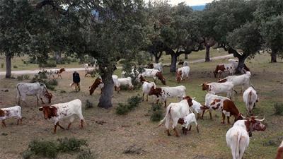Vacas berrendas en una dehesa de la provincia de Salamanca (foto: Fundación Entretantos).