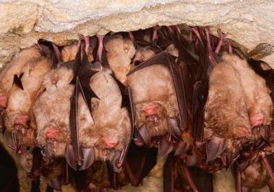 Varios murciélagos grandes de herradura hibernan en una cueva de Normandía (Francia).