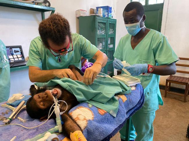 Luis Flores y un ayudante del Centro de Rehabilitación de Primates de Lwiro (República Democrática del Congo), durante el tratamiento a un chimpancé.