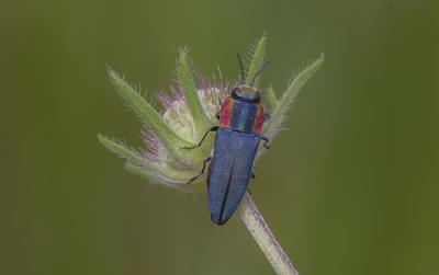 Hembra del escarabajo bupréstido Anthaxia hungarica (foto:Sergio Montagud).