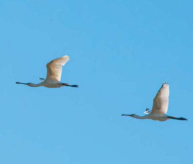 Dos espátulas en vuelo (foto: Williamxerez / Shutterstock).