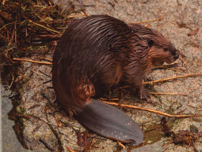 Castor europeo en la orilla de un río (foto: Podolnaya Elena / Shutterstock).