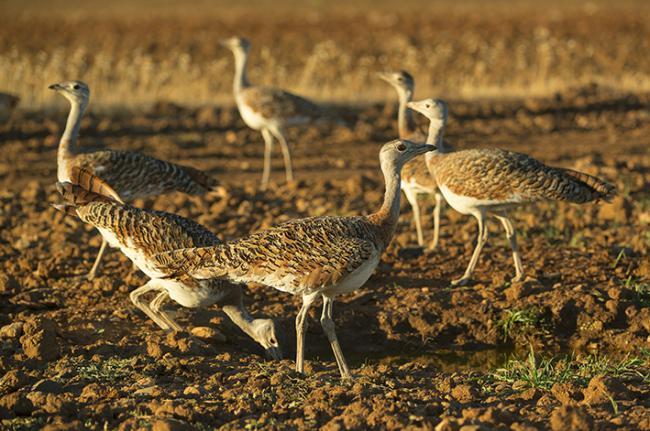 Avutardas en la reserva de Los Campillos, en Quintana de la Serena (Badajoz). Foto: Manuel Calderón / Anser.