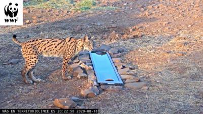 Imagen captada por la webcam de Territorio Lince en la que se ve a un lince ibérico junto a un bebedero artificial.