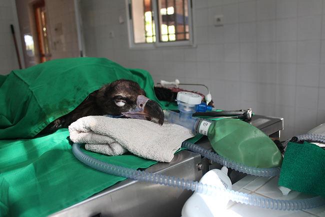 Tratamiento a un buitre negro en un centro de recuperación de fauna (foto: Amus).