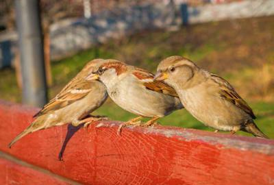 Gorriones comunes posados en la valla de un entorno urbano