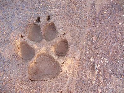 Huella de lobo en un suelo helado (foto: Javier Talegón).