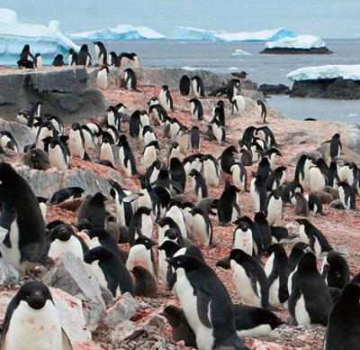 Colonia de pingüinos barbijos (foto: Rabia Jaffar / Shutterstock).