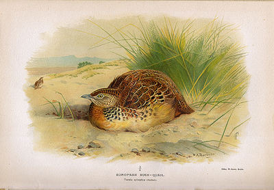 Lámina de torillo (Turnix sylvaticus), obra de Archibald Thorburn (1860-1935).
