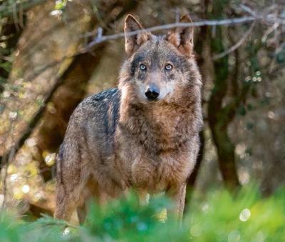 Lobo ibérico en el interior de un bosque