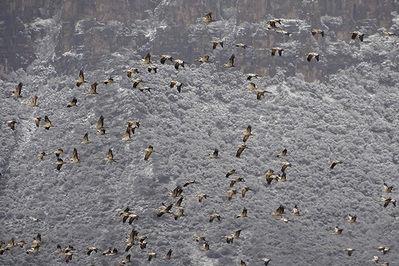 Un bando de grullas abandona el embalse de La Sotonera (Huesca) en la mañana del 25 de febrero de 2020 para cruzar los Pirineos en el curso de su migración prenupcial (foto: Kees Woutersen).