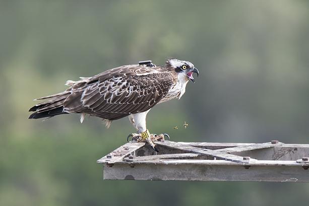 """El águila pescadora """"Marina"""" posada en un apoyo eléctrico, al que se había retirado el cable, en el Parque Natural de Pego-Oliva. Puede verse el emisor que lleva adosado al dorso (foto: Jesús Villaplana)."""